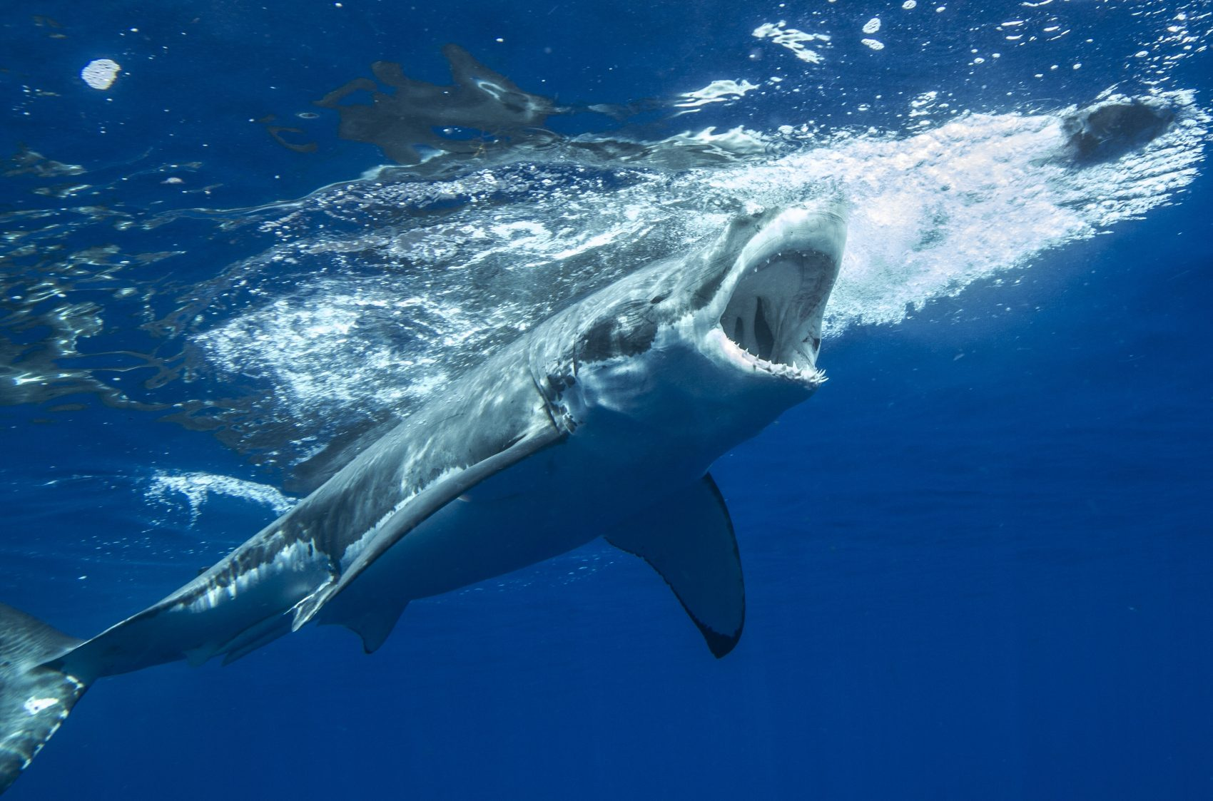 White Sharks Battle Giant Squids at Guadalupe Island?