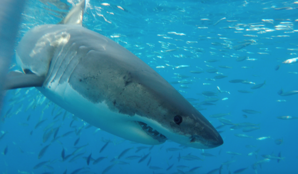 "Cage Divers See Sharks ""Up Close"" At Guadalupe Island"