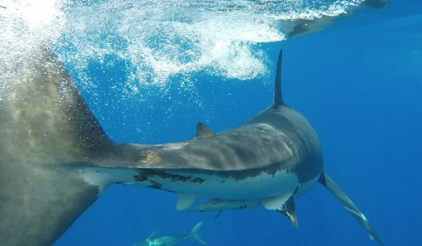 Guadalupe Island Cage Diving Trip Details Pricing