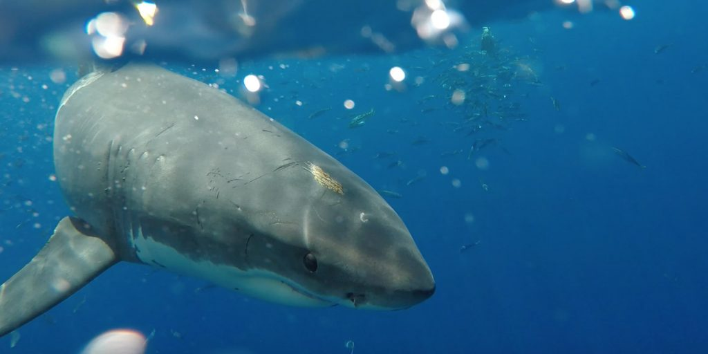 guadalupe island shark cage diving value and tours