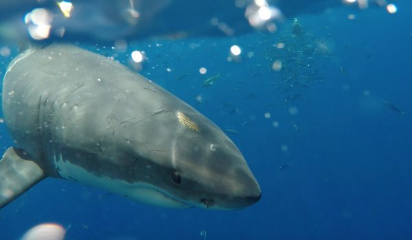 Great White Sharks of Guadalupe Island, Mexico's Baja Outpost