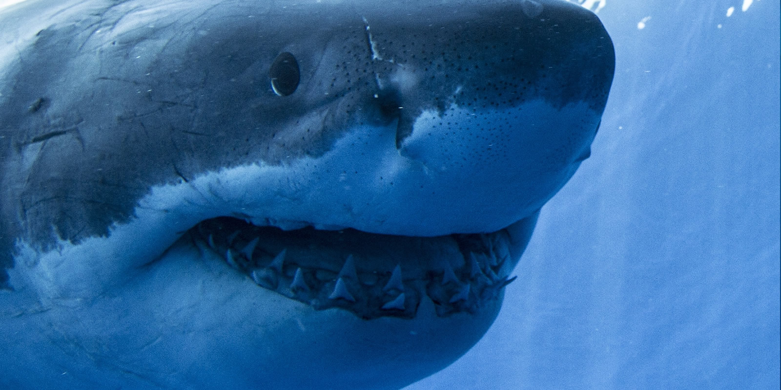 Great White Sharks | Guadalupe Island | What You Need To Know