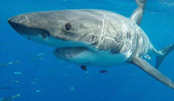 Scuba Diving Guadalupe Island | Guadalupe Island Information