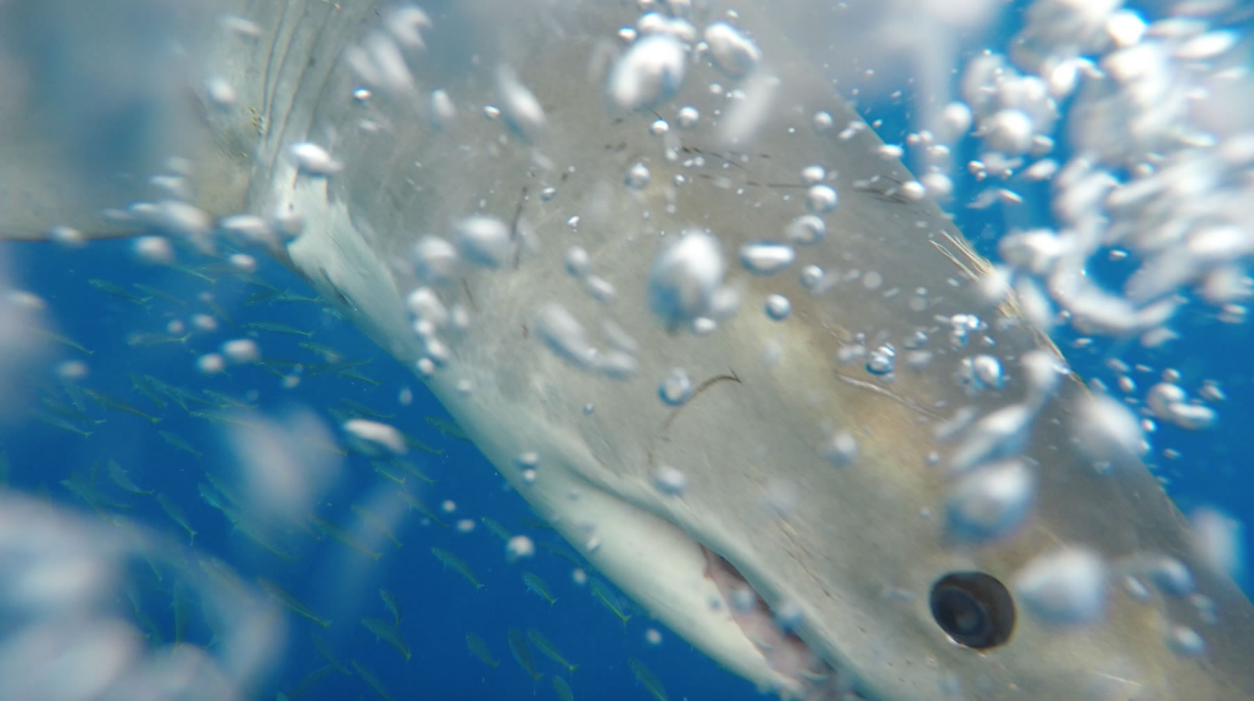 guadalupe island shark cage diving