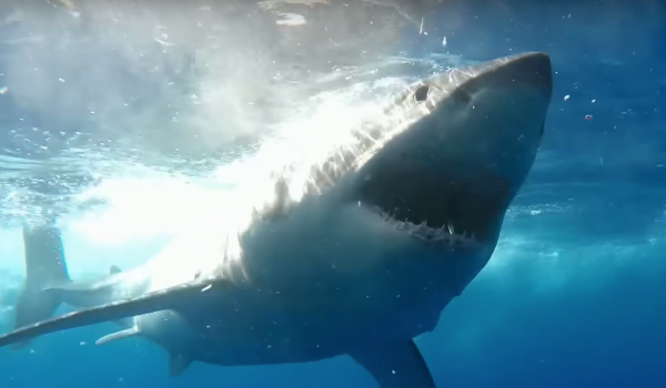 Shark Cage Diving Video Shark Week 2019 Guadalupe Island