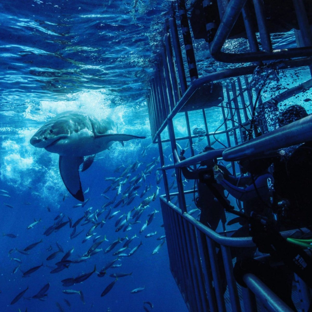 Great White Shark Cage Diving in Cancun?