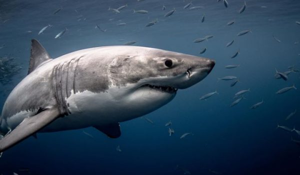 Last Minute Discount Great White Shark Cage Diving Guadalupe Island?