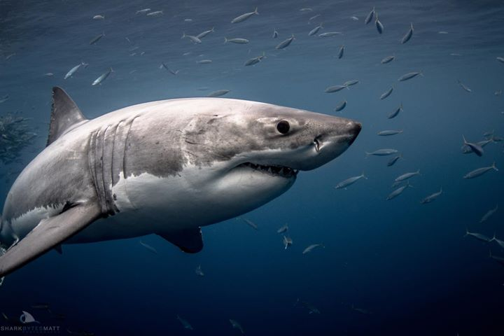 Get Up Close With Great White Sharks in California