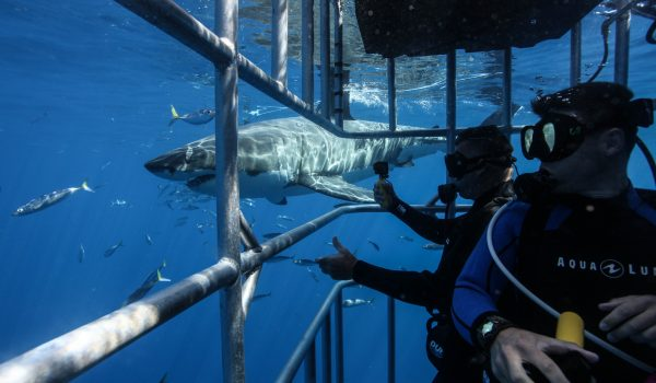 Guadalupe Island Shark Cage Diving Trip Reviews 2019