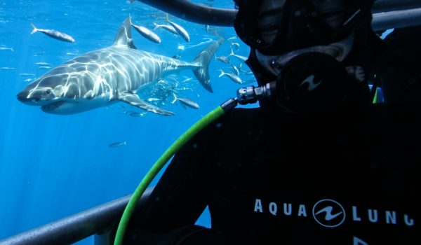 Isla Guadalupe Trip Planning Shark Cage Diving 2020
