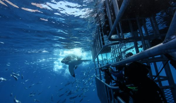 Guadalupe Island 2021 Cage Diving Update COVID19
