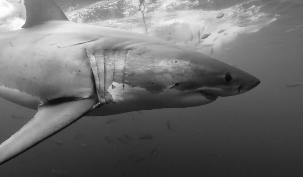 Best Great White Shark Cage Diving USA and Mexico