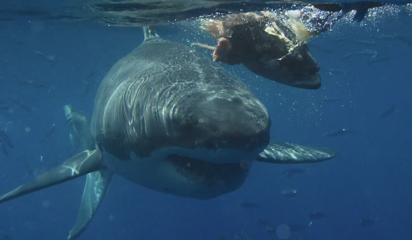 Shark Week at Guadalupe Island? Yes!